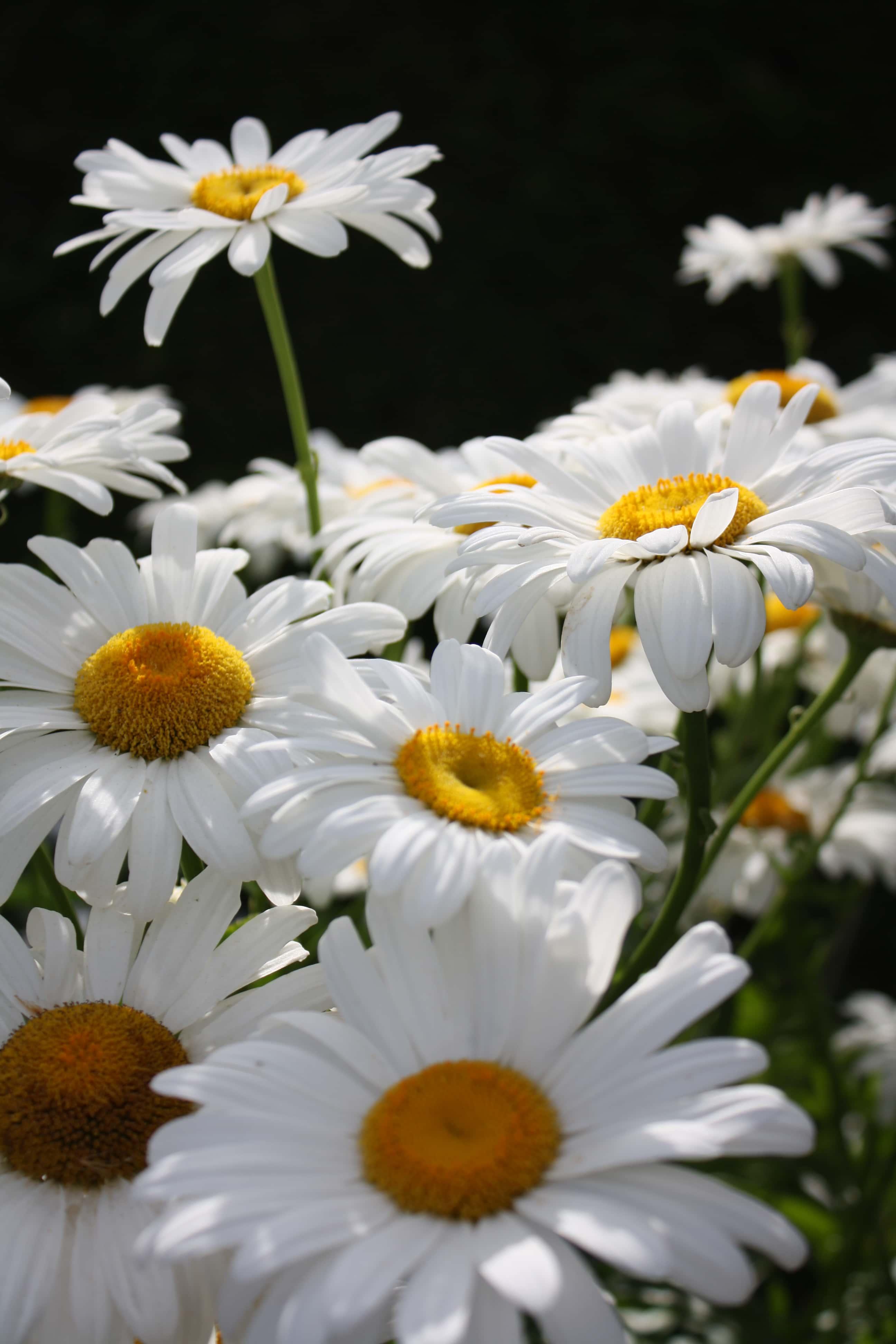 FREE PICTURE FLOWER GARDEN MARGARITA MEADOW PLANT FLORA NATURE