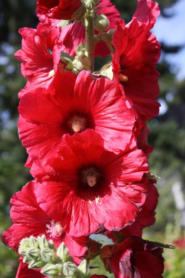 цветочный сад, Цветы, Нектар, лепестки, тычинка, завод, на открытом воздухе, лист, цветок, Природа