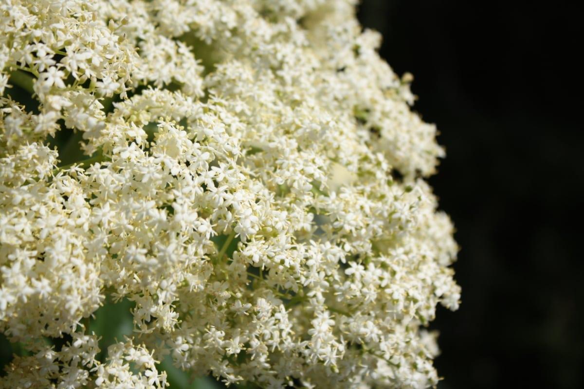 kronblad, buske, vit blomma, blomma, Anläggningen, ört, naturen, Utomhus, blad, flora