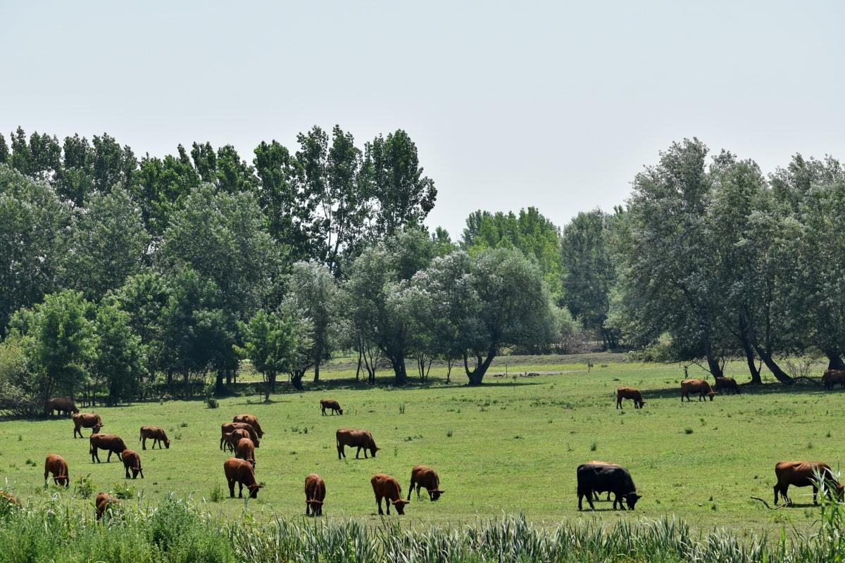 Животные, Луг, Корова, Ранчо, трава, Животноводство, крупный рогатый скот, сельских районах, Сельское хозяйство, ферма