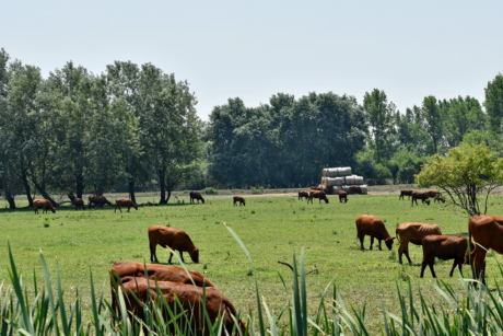 cattle, cows, grazing, hay field, livestock, farm, horses, rural, ranch, cow