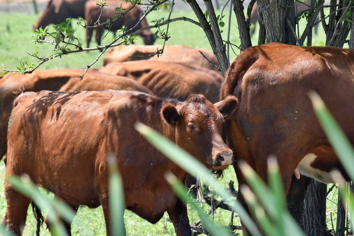 ウシ, 草, 牛, 牛, ファーム, 農地, 農業, 牛肉, 家畜, 自然