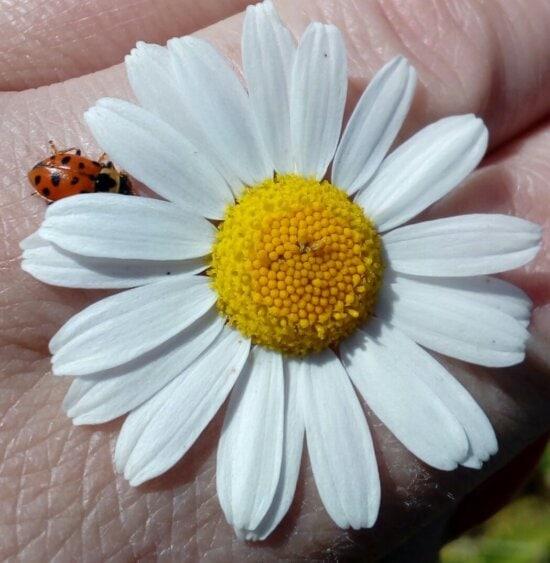 daisy, hand, insect, ladybug, pollen, skin, yellow, close-up, petals, petal