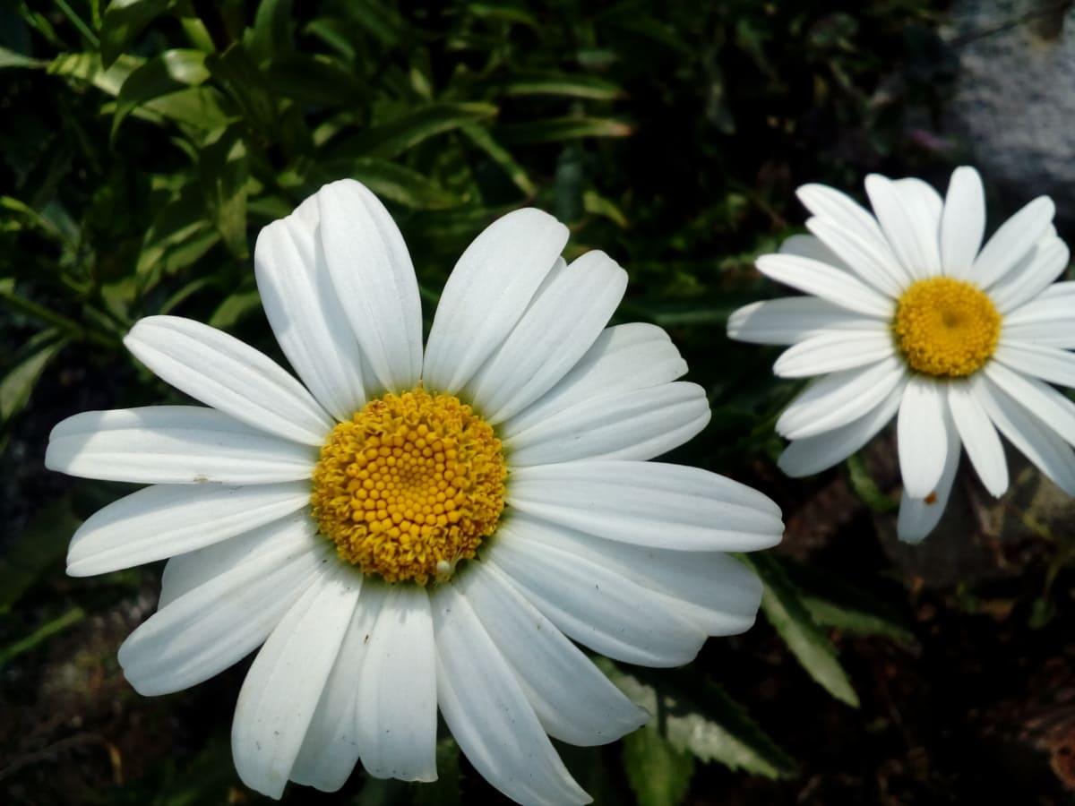 tratinčice, cvjetni vrt, cvijeće, bijeli cvijet, žuta, izbliza, latice, latica, ljeto, livada