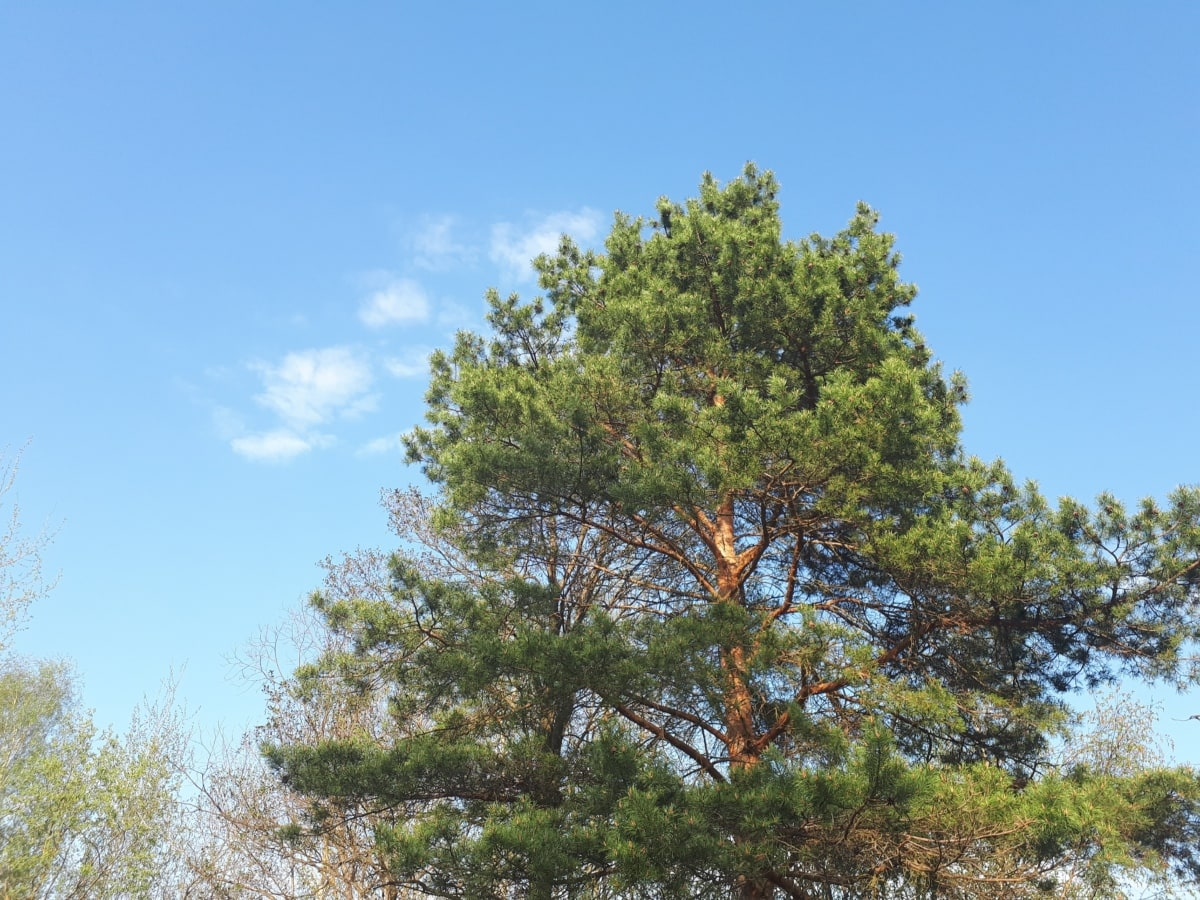 branches, conifers, trees, blue sky, tree, plant, forest, summer, leaves, outdoors