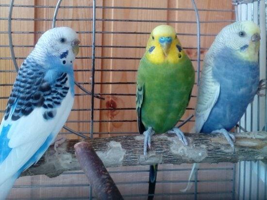 Käfig, Sittich, Papageien, Haustiere, Porträt, tropische Vögel, Auge, Tierwelt, gelb, Tier