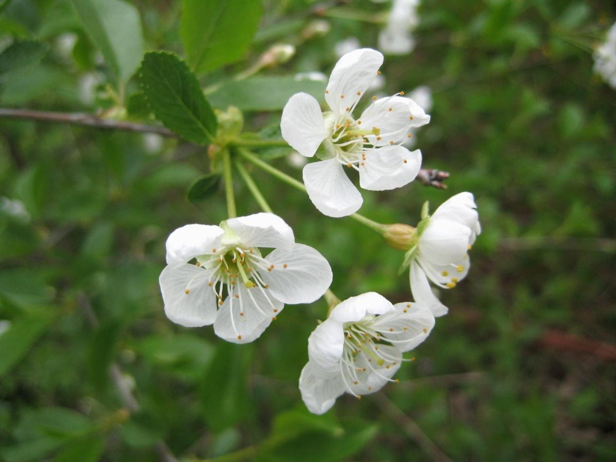 appelboom, lente, struik, bloem, bloesem, blad, natuur, hagedoorn, flora, plant