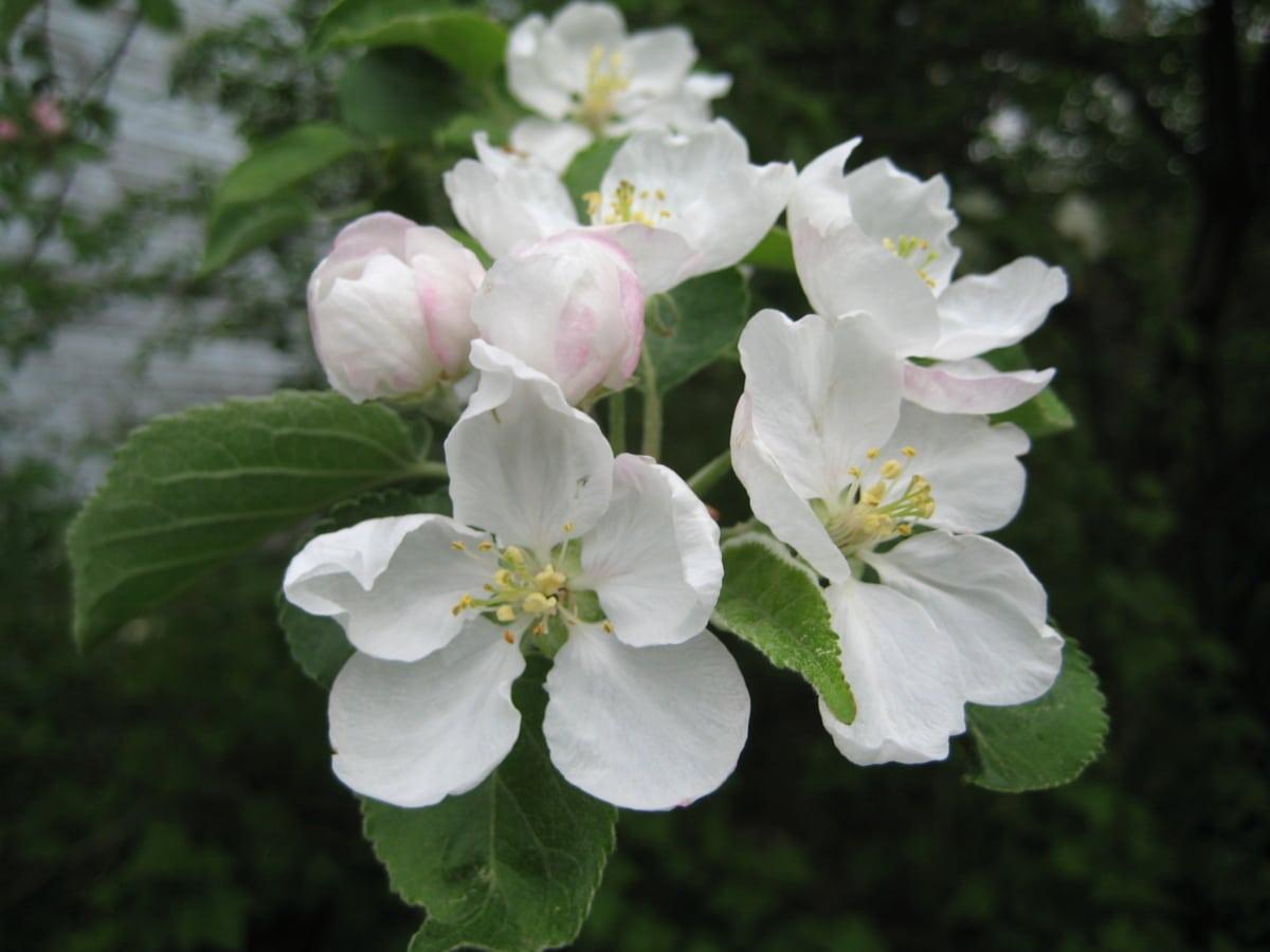 äppelträd, grenar, blomknopp, vit blomma, buske, naturen, spring, Anläggningen, blomma, blomma