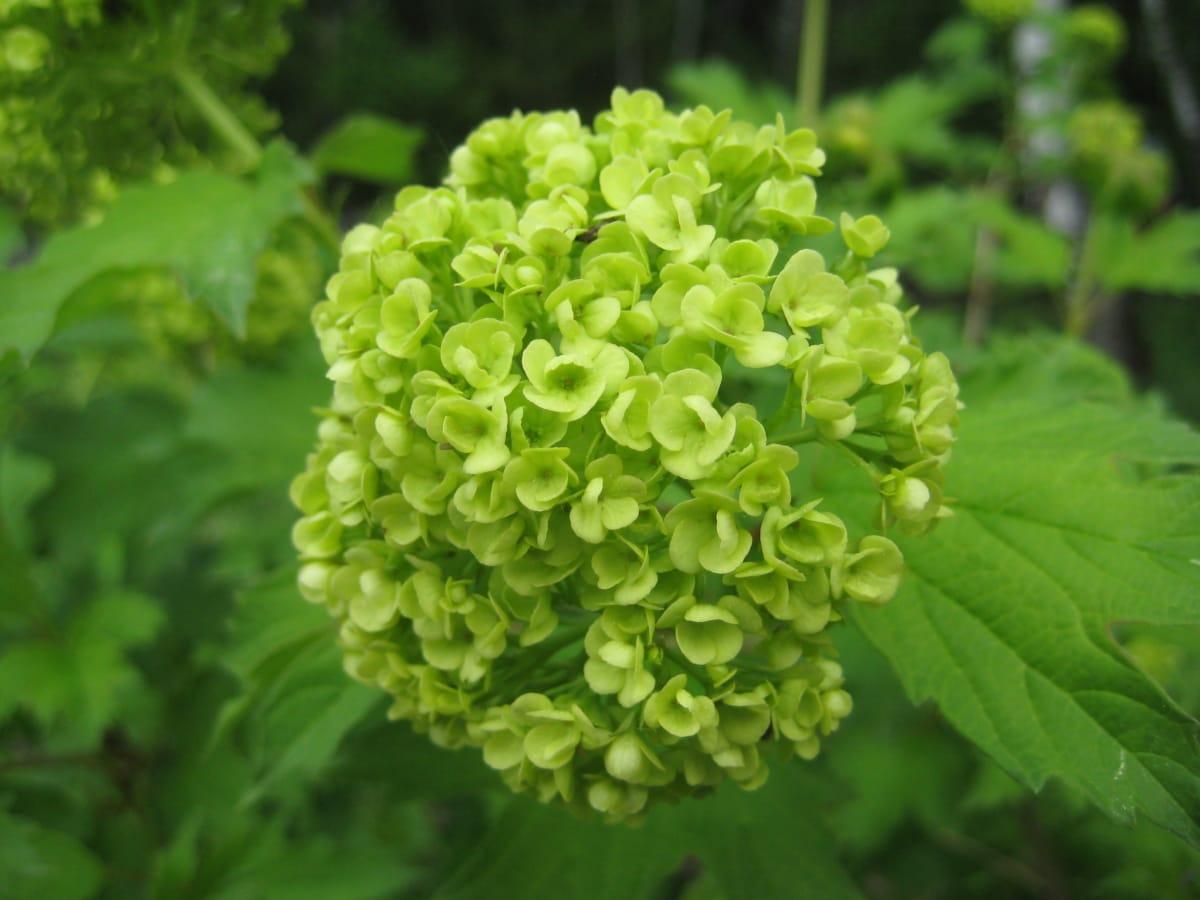 cluster, bloemknop, bloementuin, groenachtig geel, Hortensia, plant, natuur, struik, flora, blad
