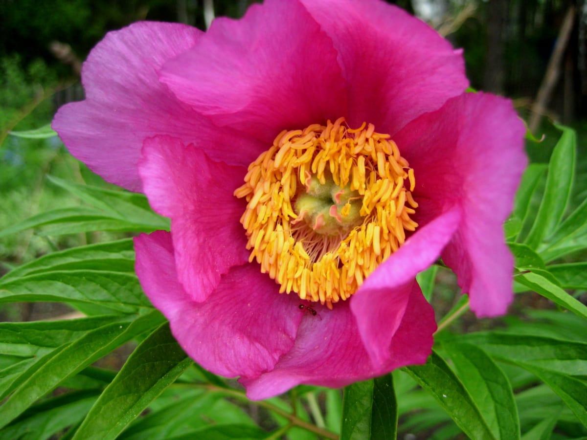 fourmis, belles fleurs, fermer, insecte, rosâtre, pistil, pollen, fleur, nature, Rose