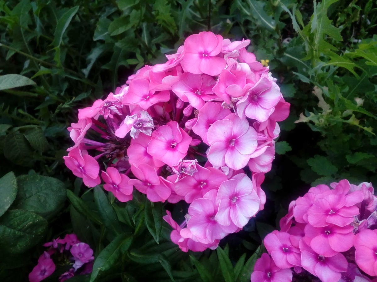 blomsterhage, rosa, bukett, vår, hortensia, busk, kronblad, hengivenhet, rosa, hage