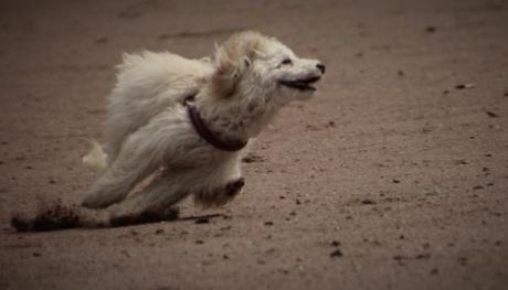 hunden, kjører, sand, sport, hvit, hjørnetann, stranden, søt, stående, dukke