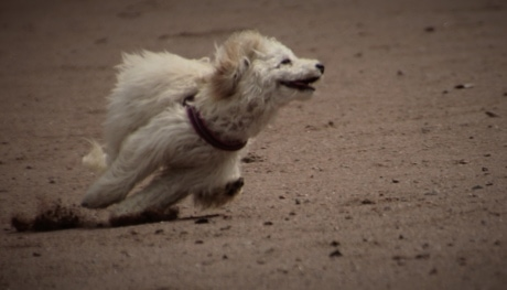 куче, тичане, пясък, спорт, бяло, кучешки, плаж, сладък, портрет, кученце