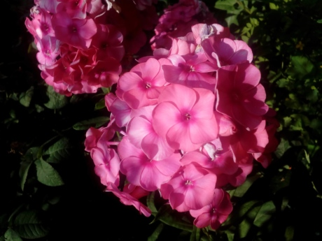 beautiful flowers, flower garden, flowering, horticulture, petals, bouquet, spring, hydrangea, shrub, petal