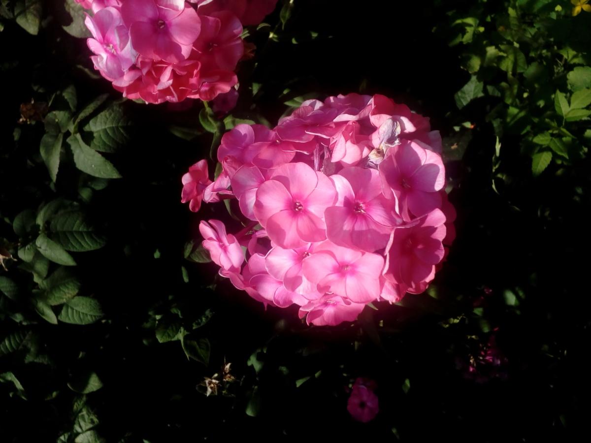 blomsterhage, blomster, grønne blader, hortensia, rosa, skygge, vår, busk, kronblad, kronblad