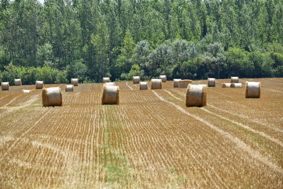 széna mező, szénakazalban, mezőgazdasági, mezőgazdaság, bála, kör, vidéken, száraz, termőföld, takarmány