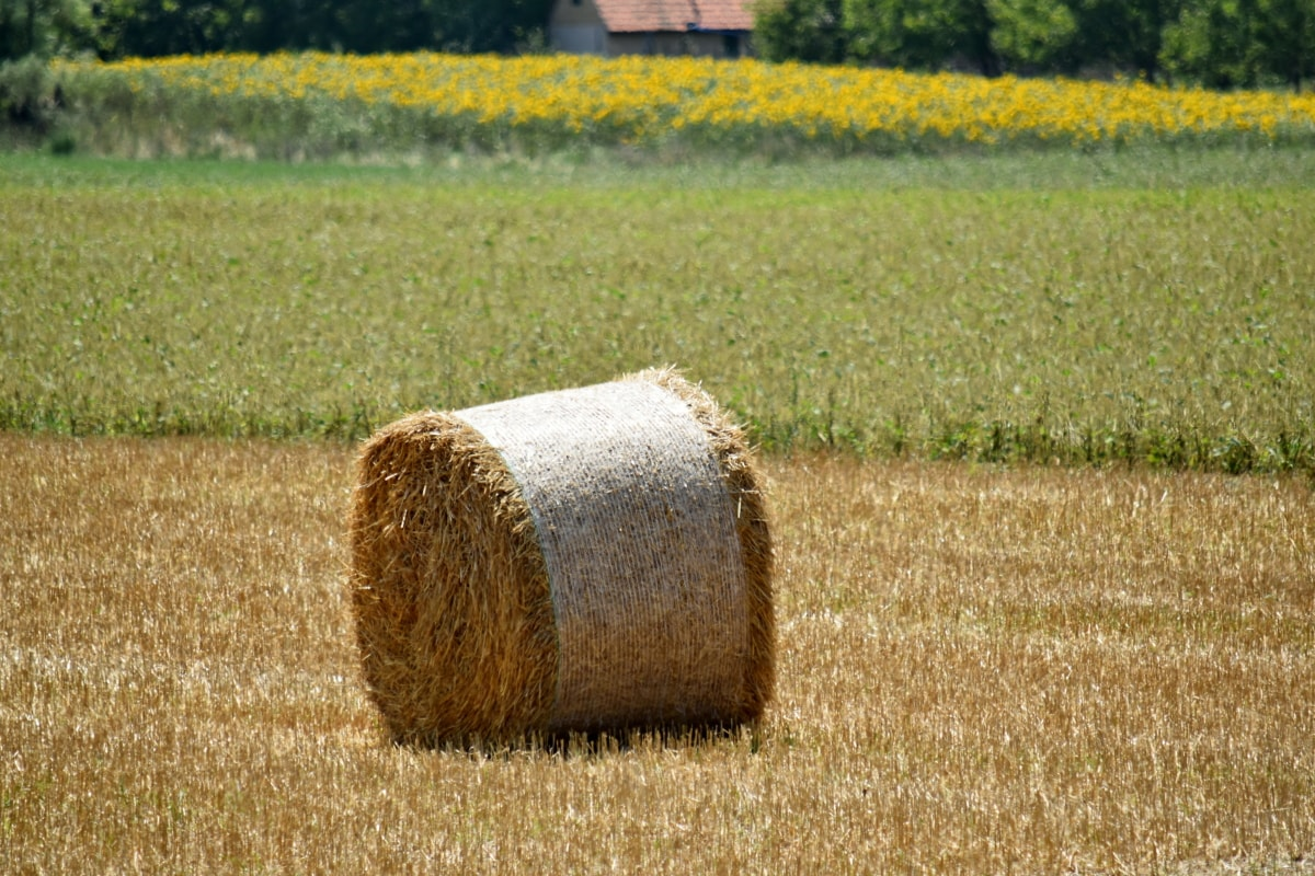 agriculture, farm, farmland, hay field, circle, corn, country, countryside, crop, diet