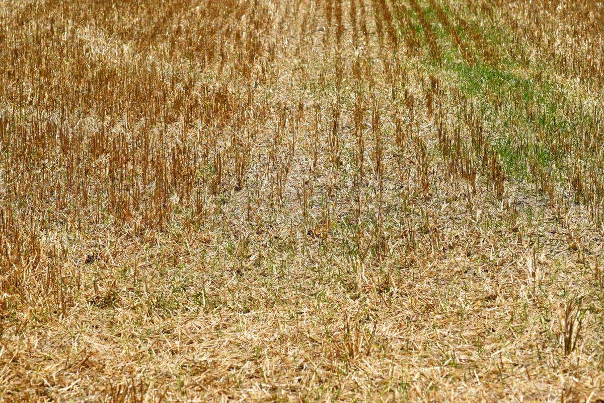 landbruk, sommersesongen, frokostblanding, anlegget, feltet, halm, hvete, landlig, jord, natur