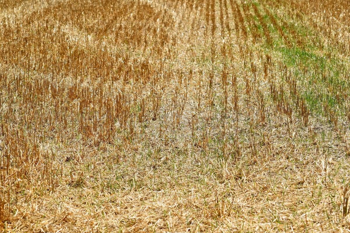 landlig, feltet, landbruk, halm, jord, beskjære, tørr, natur, landskapet, høy