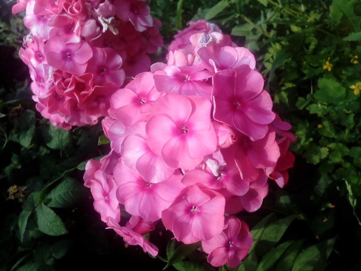 květinová zahrada, keř, jaro, hortenzie, okvětní lístek, růžová, zahrada, tráva, květ, květiny