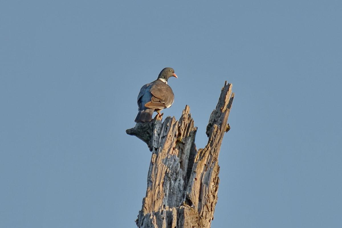 holub, divoké, voľne žijúcich živočíchov, divokosti, vták, sup, príroda, vonku, zviera, Vtáčia