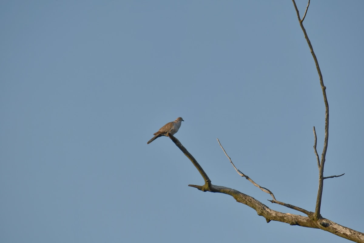 bird, branch, dove, migration, tree, nature, animal, wildlife, avian, outdoors