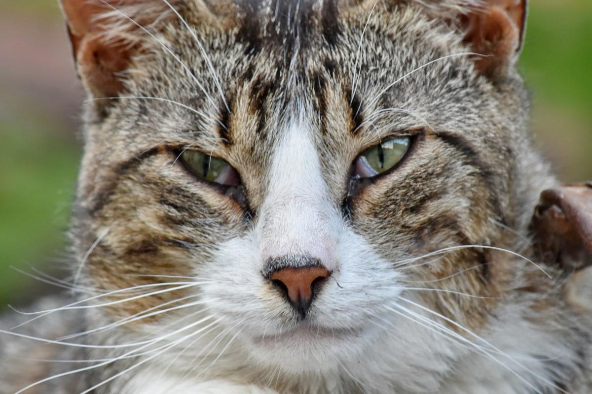 izbliza, domaća mačka, portret, čistokrvno, životinja, mače, prugasta mačka, kosa, zalistak, oko