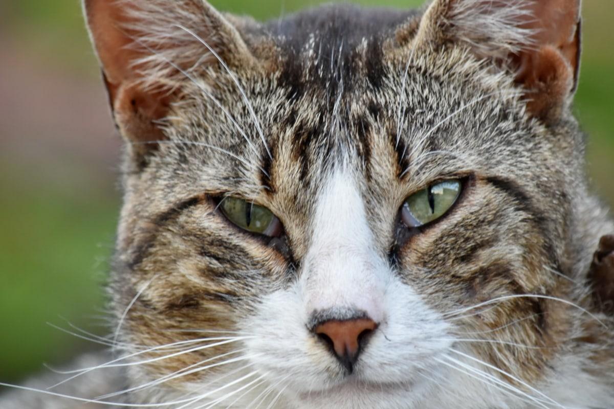 カラフルです, 詳細, 国内の猫, 目, 縦方向, ひげ, 目, 毛皮, ウィスカー, ストライプ猫