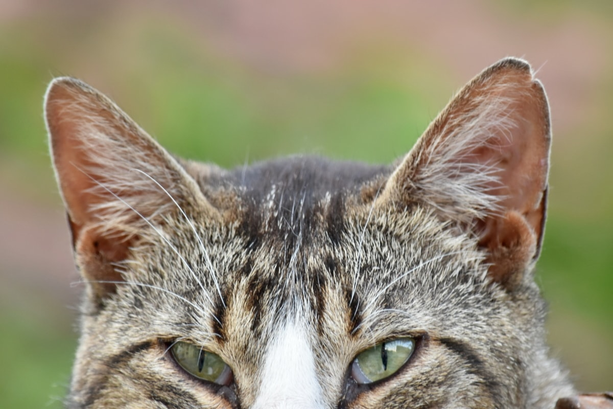 curiosity, domestic cat, eyes, looking, animal, tabby cat, whisker, fur, eye, nature