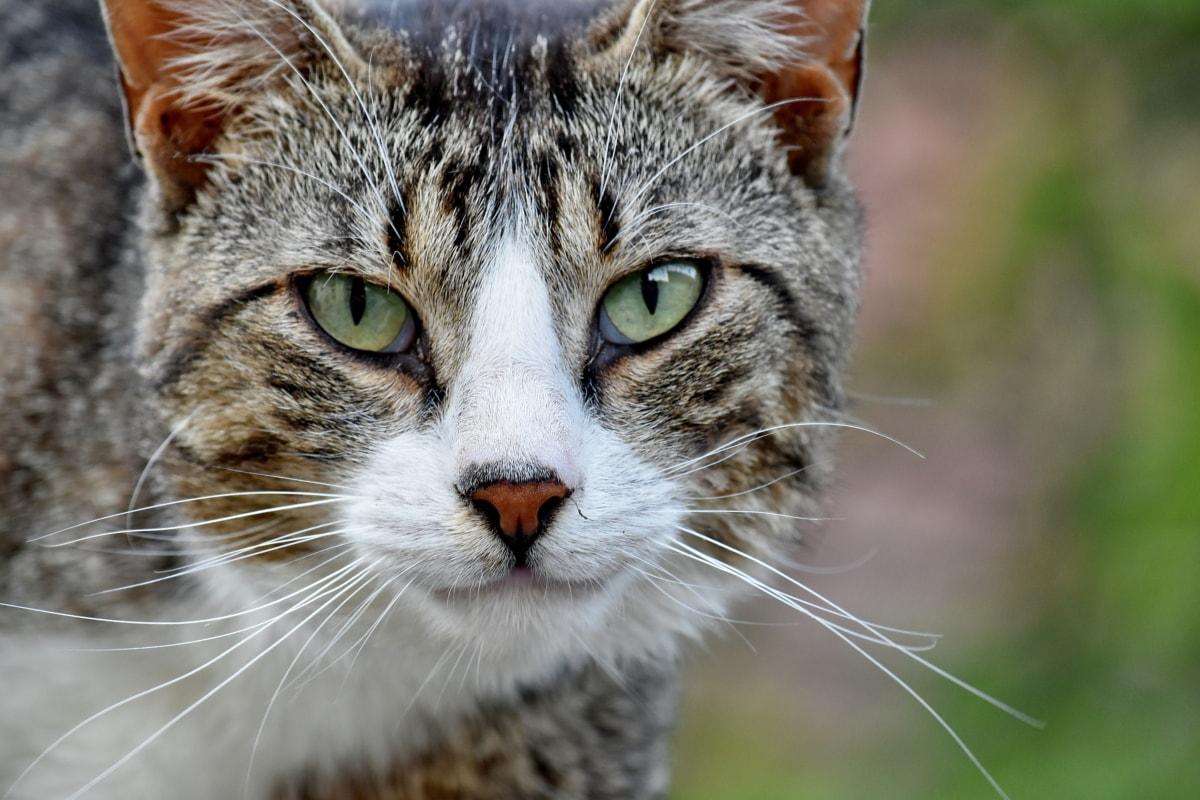 beautiful photo, domestic cat, portrait, tabby cat, eye, fur, animal, feline, whisker, kitten