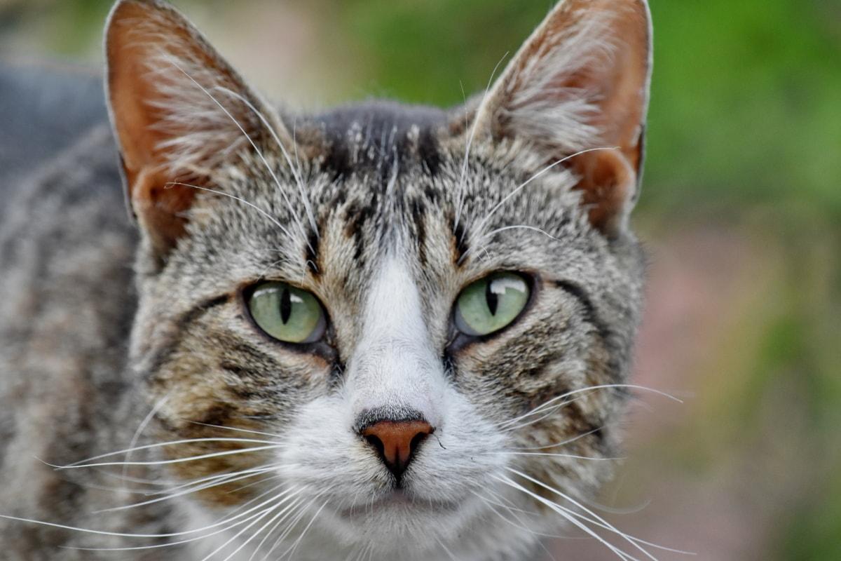 linda foto, perto, olhos, cabeça, gatinho, nariz, retrato, bigodes, felino, animal de estimação