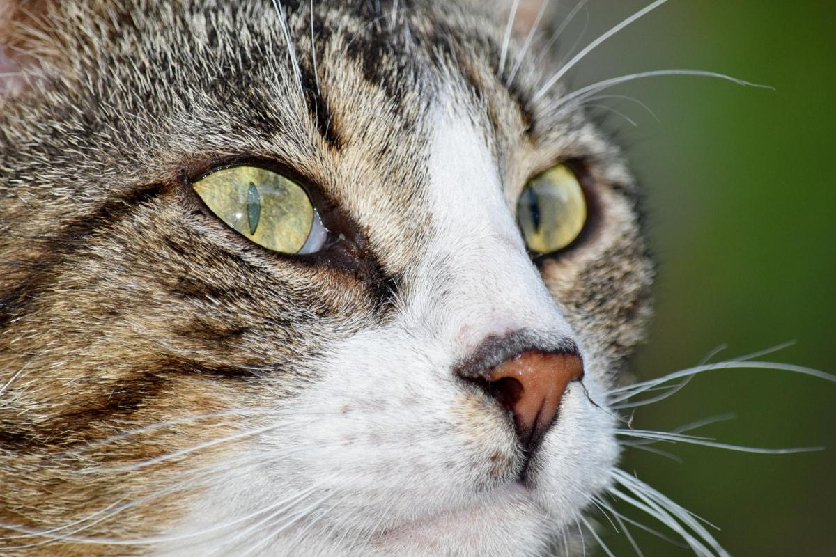 крупным планом, Домашняя кошка, глаза, Портрет, вид сбоку, животное, столбик, глаз, кошка, котенок