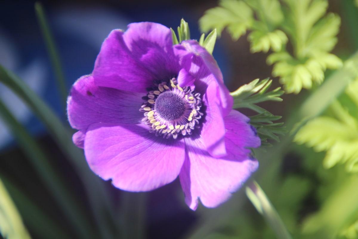 blurry, flower, flower garden, pistil, purple, herb, garden, blossom, poppy, plant