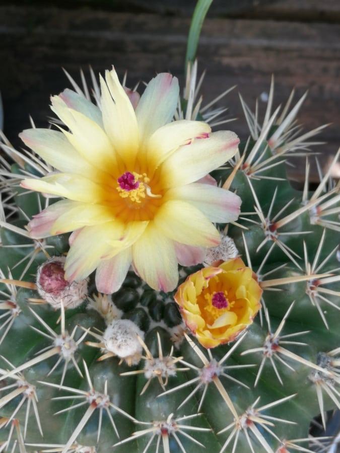 kaktus, cvatnje, cvijet, flora, oštar, sočan, biljka, kralježnice, priroda, ljeto