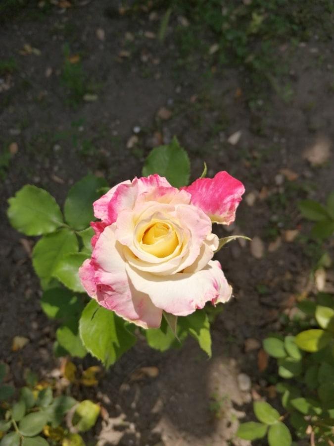 красочные, лепестки, Солнечный, Роза, розы, цветок, Природа, завод, Лепесток, Кустарник