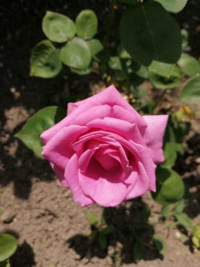 Garten, Rosen, Strauch, Blütenblatt, Blatt, Rosa, Anlage, Blume, stieg, Natur