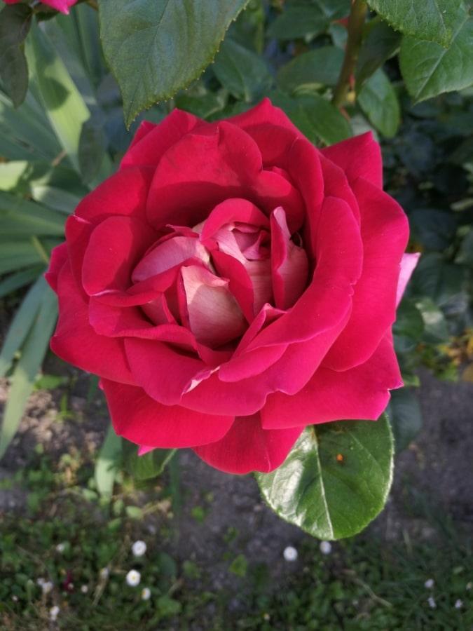 prekrasno cvijeće, latice, crvenkasto, ruža, biljka, ruža, cvijet, cvatnje, priroda, grm