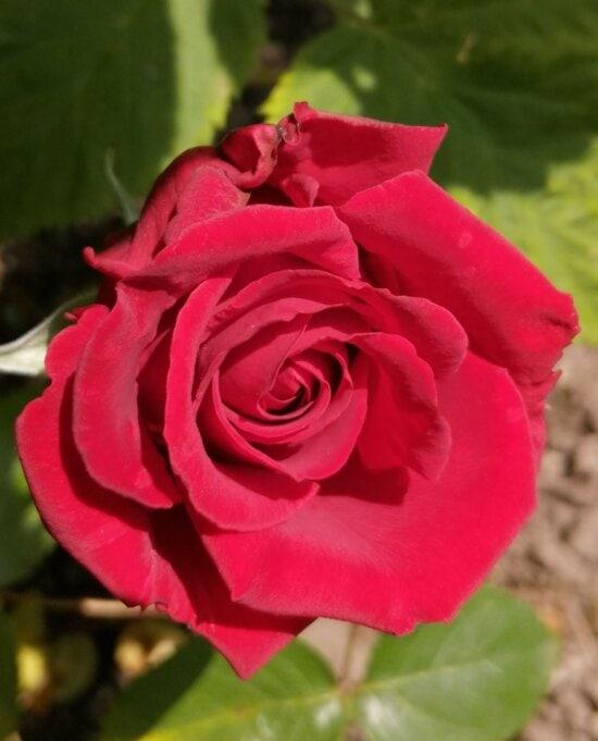 close-up, detail, petals, red, rose, bud, shrub, garden, blossom, day