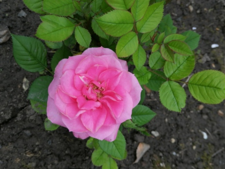 ground, roses, rose, plant, pink, nature, flower, petal, shrub, leaf