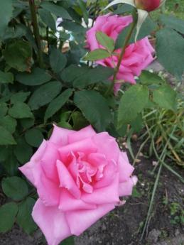 detalles, rosado, rosas, arbusto, hoja, flor, planta, rosa, color de rosa