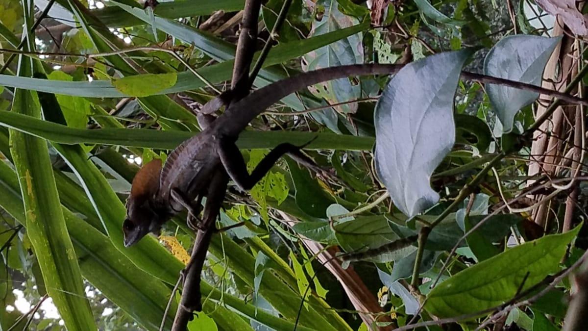 ендемічних, джунглі, ящірка, Рептилія, Тропічна, природа, дерево, лист, дикої природи, тропічний ліс