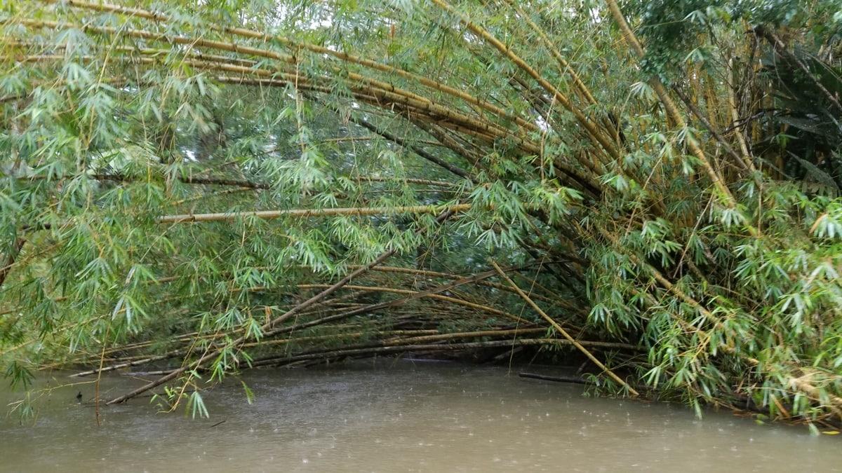 bambu, hujan, hutan hujan, musim panas, rawa, tropis, air, hutan, daun, pohon