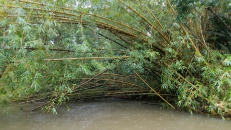 bamboo, rain, rainforest, summer season, swamp, tropical, water, forest, leaf, tree