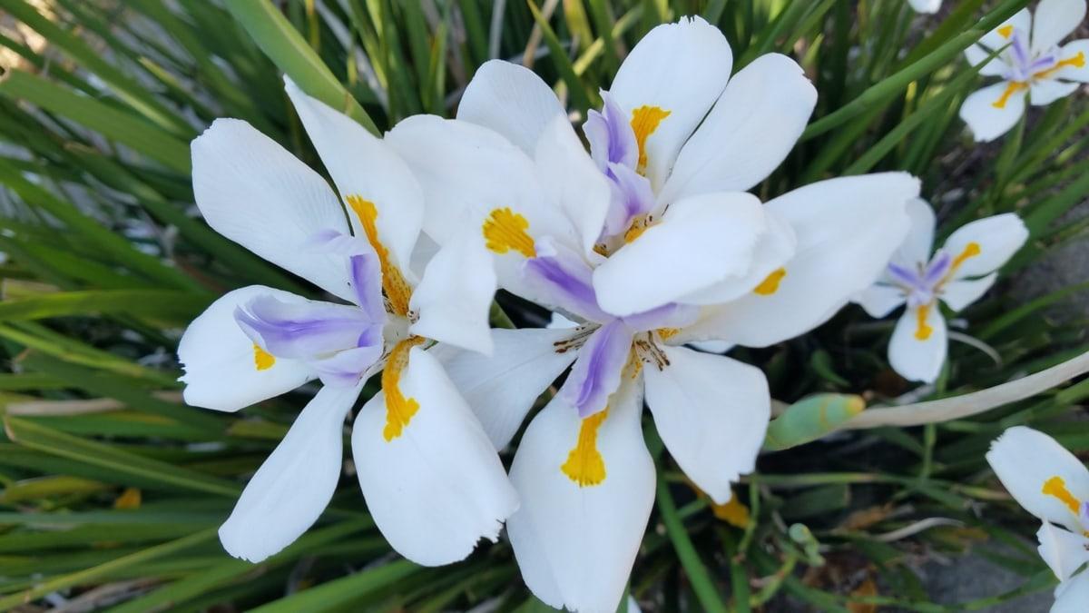 kleurrijke, gegevens, witte bloem, natuur, bloesem, bloemen, bloem, bloemblad, plant, blad