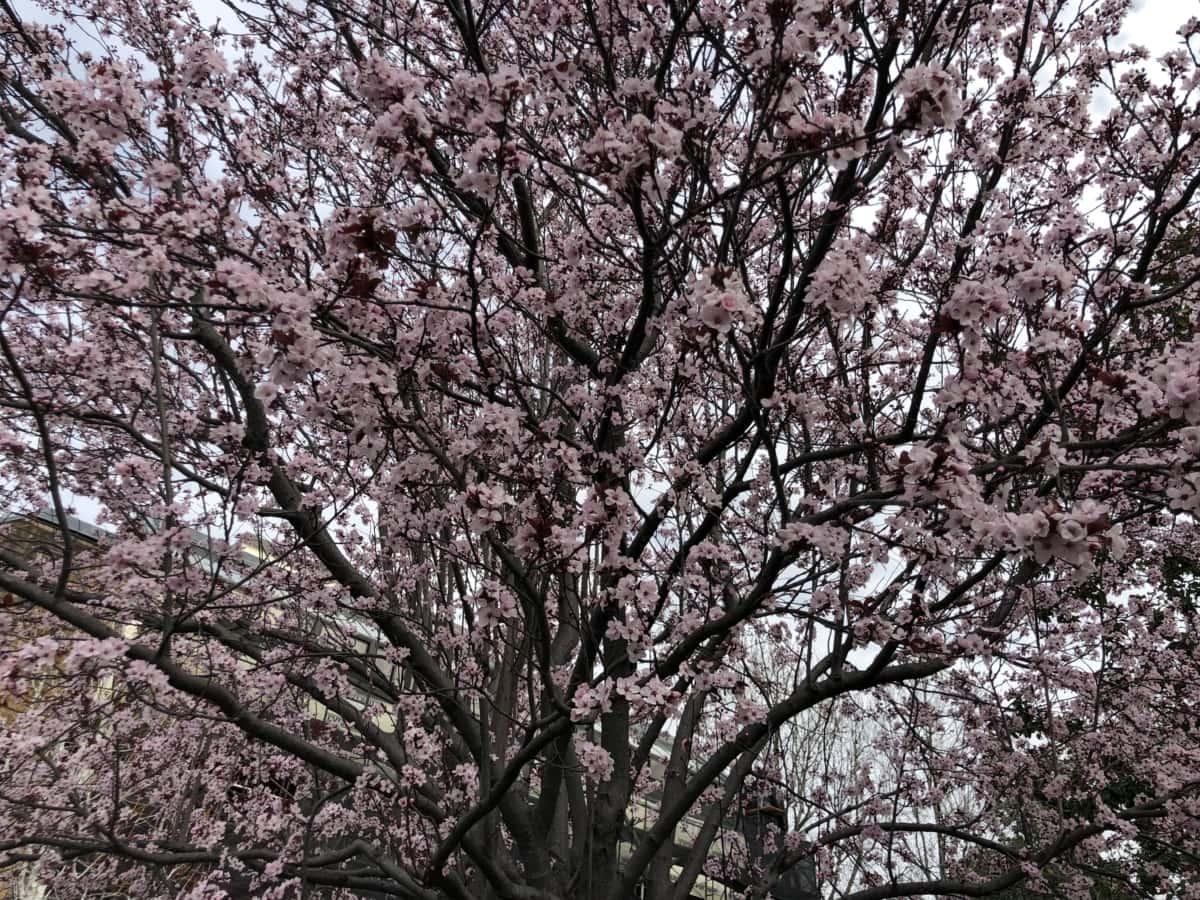 třešeň, strom, parku, větev, Les, květ, Příroda, sezóny, list, Flora