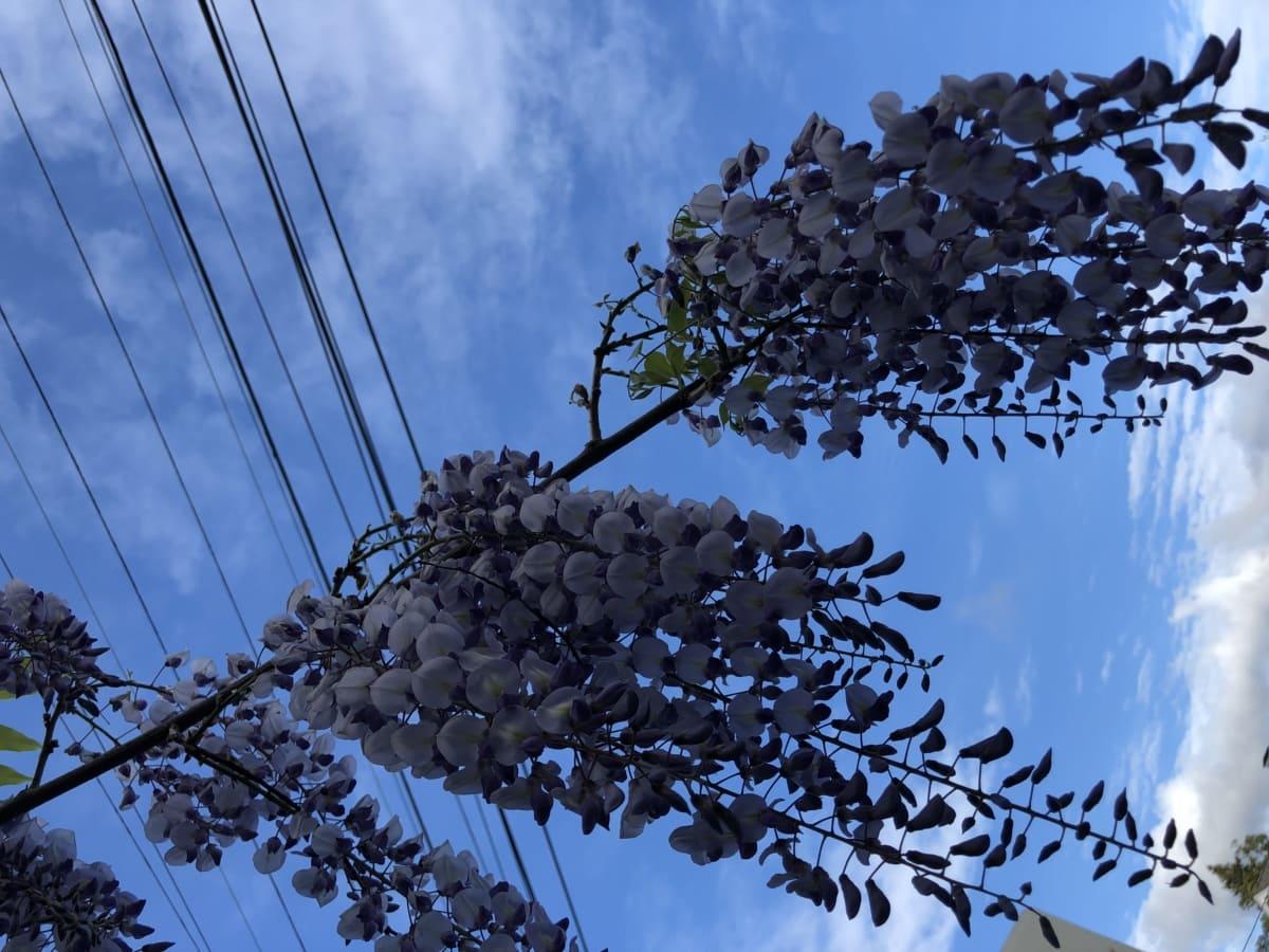 acacia, blue sky, branch, wires, tree, nature, leaf, flora, color, fruit