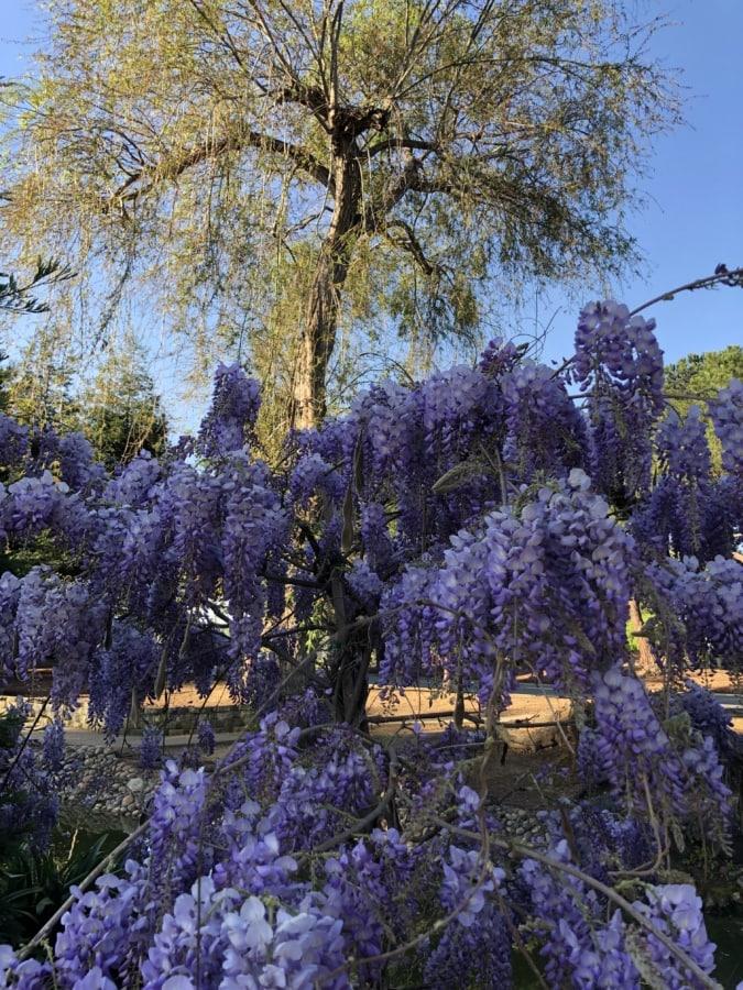 acacia, purple, flower, season, plant, nature, flora, tree, leaf, outdoors