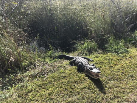 grass, alligator, bird, water, nature, wildlife, swamp, animal, marsh, wood