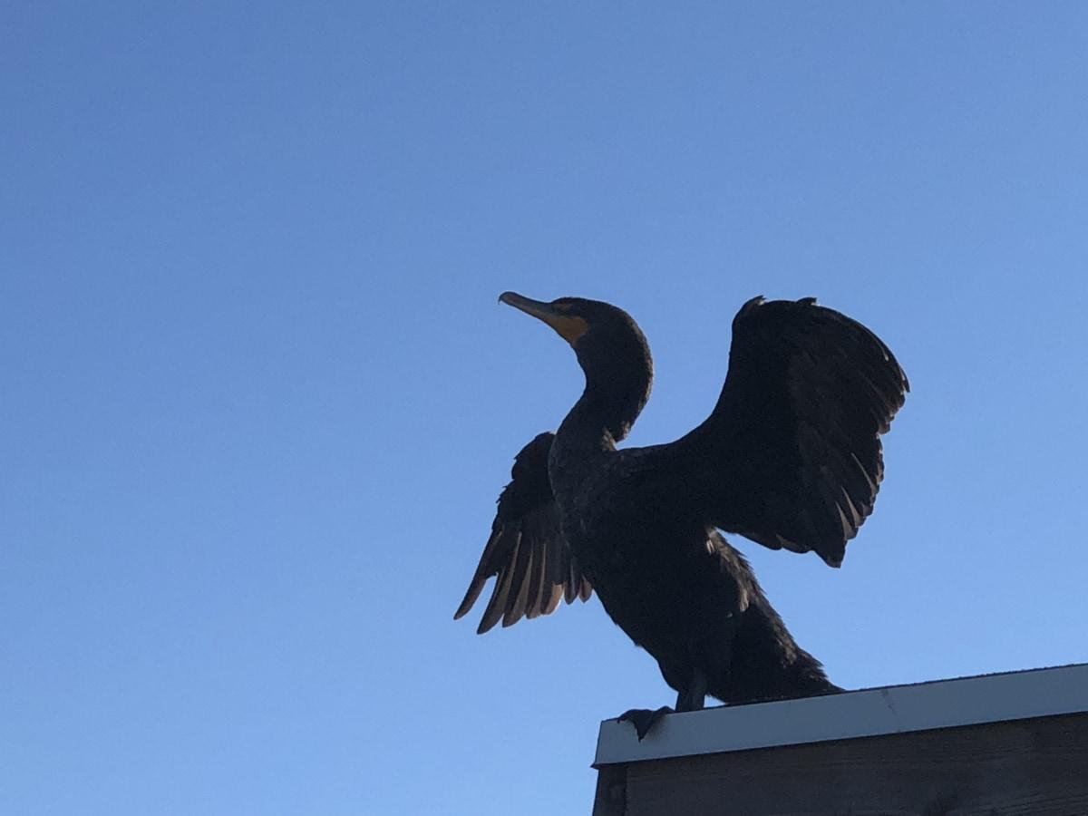 crno, kormoran, krila, ptica, biljni i životinjski svijet, kljun, Svraka, priroda, životinja, divlje