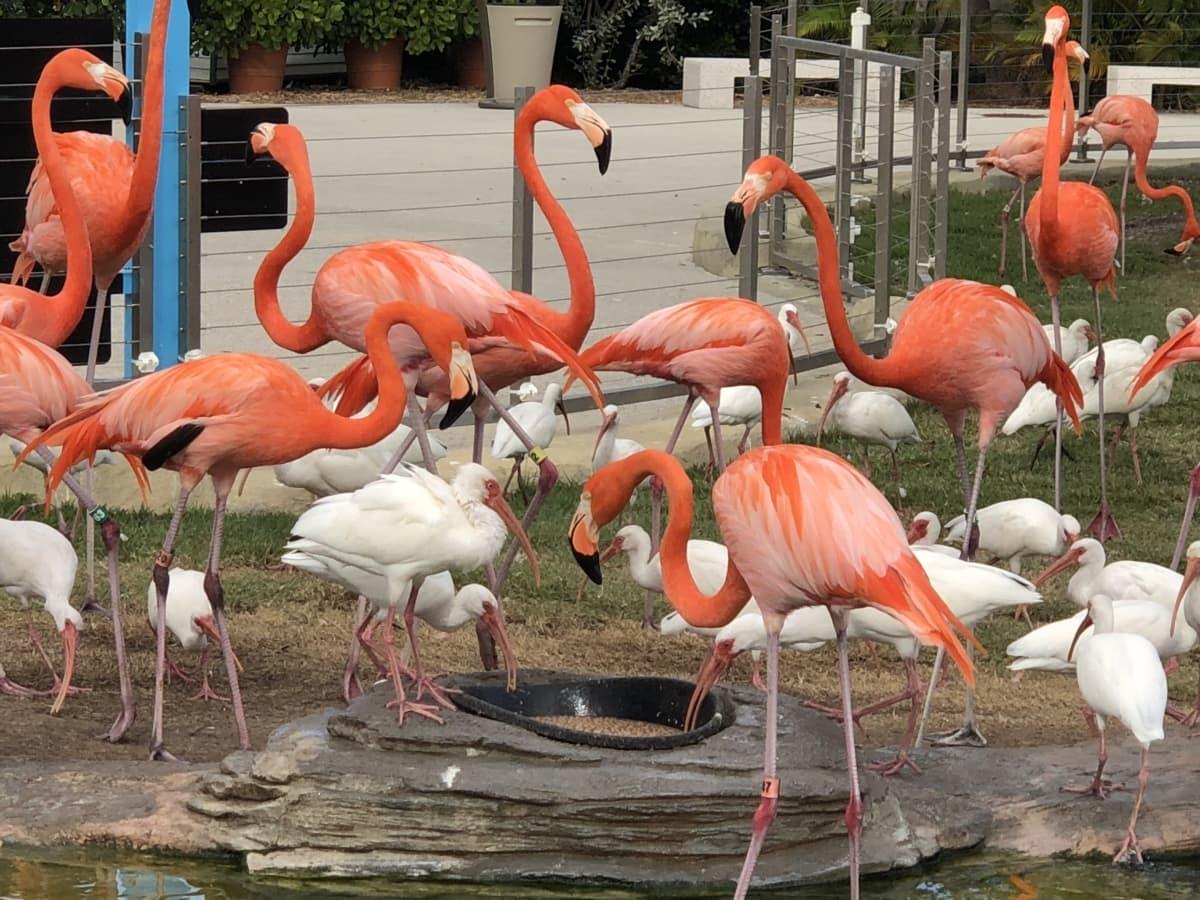 uccello acquatico, bella foto, Flamingo, attrazione turistica, Zoo di, uccello, fauna selvatica, selvaggio, uccello, becco